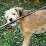 702466_dog_with_a_stick1